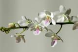 Sedirea japanica x Vanda amesiane