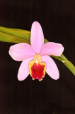 Sc. Crystelle Smith 'BK Orchids' - 6516B