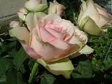 102 continental rose.jpg