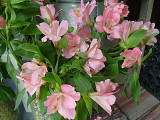 107 pink lillies.jpg