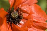 close up poppy