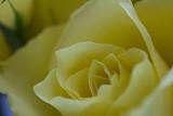 yellw rose