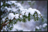 snowy tree