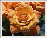 Orange rose Photshop smudge