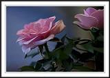 Roses  photoshop smudge