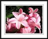 hyacinth smudge Photoshop