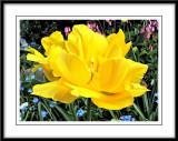 yellow tulip Photoshop smudge