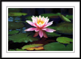 Walters water lily