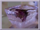 plum flower in ice