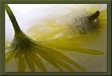 yellow iced daisey