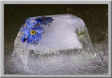 frozen for get me nots