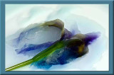 melting Iris
