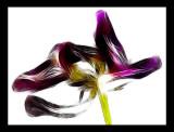 fading tulip....