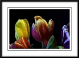 a colorful array of tulips...