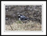 Little trotty wagtail....