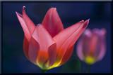 garden tulip...