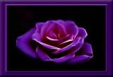 glowing rose...