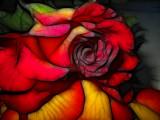 red and orange rose