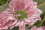 pink crysanth