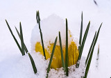 yellow snow covered crocus