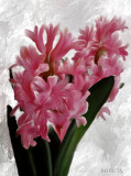 hyacinth...