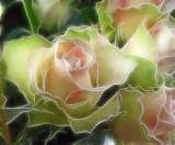 continental rose...