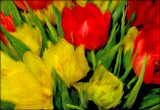 yellow n red tulips...