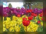 down-under-tulips...