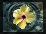 Hibiscus-haga-parken.jpg