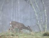 Misty morning doe