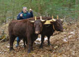 Working the young oxen