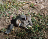 Bushy-tailed Woodrat