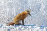 Reddy The Fox