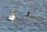 Tundra Swans &Gr.W.F.Goose