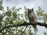 G_H_Owl