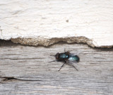 Bluetail Fly