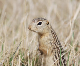 13 Lined Ground Squirrel