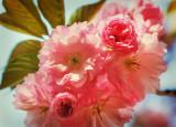 Cherry Monday
