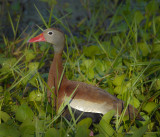 Black Bellied Whisteling-Duck  (Dendrocygna autumnalis)