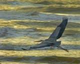 Great Blue Heron (Ardea herodius)