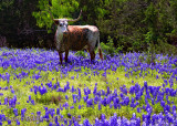 Texas Bluebonnet Photos