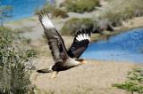 Traro (Southern Crested Caracara - Caracara plancus)