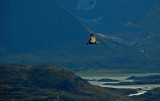 Condor en Torres del Paine, Chile