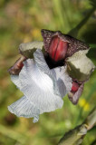 Iris hermona  אירוס החרמון