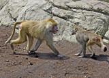 baboons of Brooklyn_11.jpg