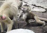 baboons of Brooklyn_09.jpg