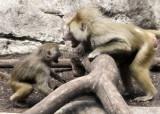 baboons of Brooklyn_08.jpg