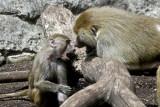 baboons of Brooklyn_03.jpg