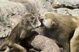 baboons of Brooklyn_02.JPG