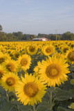 Aug. 3, 2008 - Sunflowers